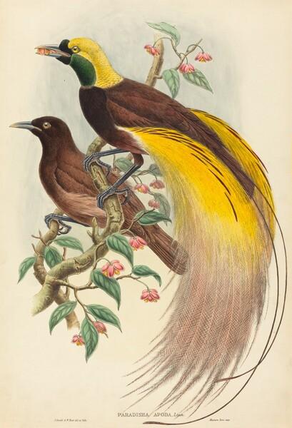 Bird of Paradise (Paradisea apoda)