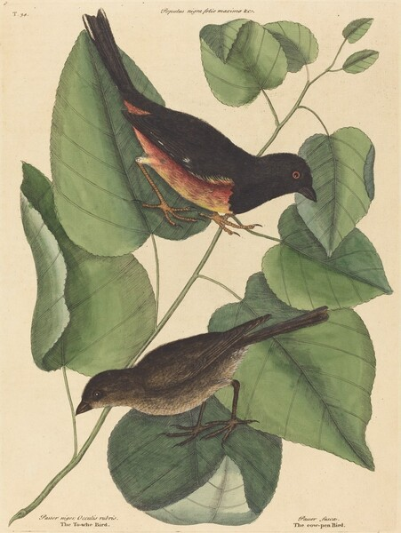 The Towhe Bird (Fringilla erythrophthalma)