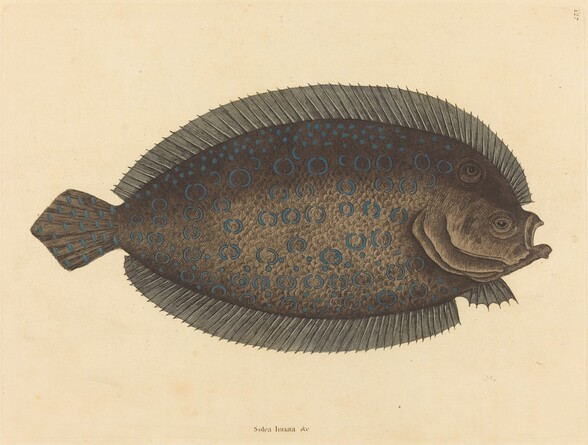 The Sole (Pleuronectes lunatus)