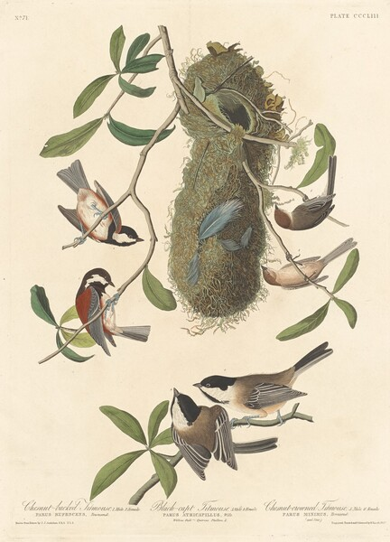 Chestnut-backed Titmouse, Black-capped Titmouse and Chestnut-crowned Titmouse