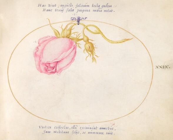 Plate 29: Pink Rose and Rosebud