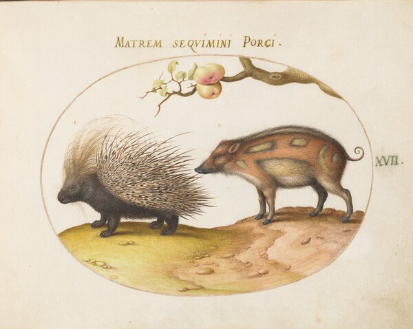 Plate 17: Crested Porcupine and Wild Pig