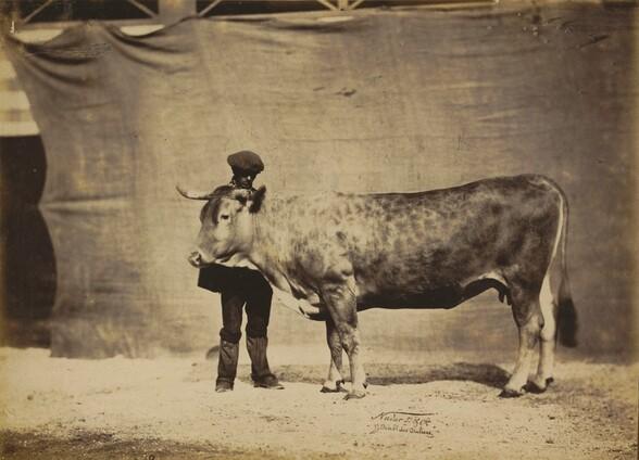 Vache Garonnaise, agée de 5 à 6 ans