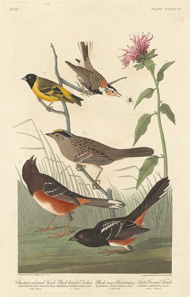 Chestnut-colored Finch, Black-headed Siskin, Black Crown Bunting and Arctic Ground Finch