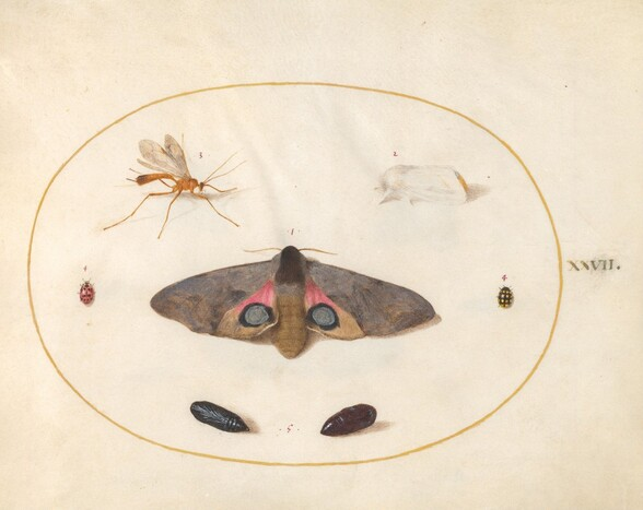 Plate 27: Two Moths, Two Chyrsalides, and Other Insects