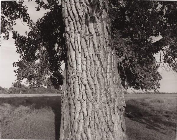 Cottonwood Tree, Cache la Poudre River