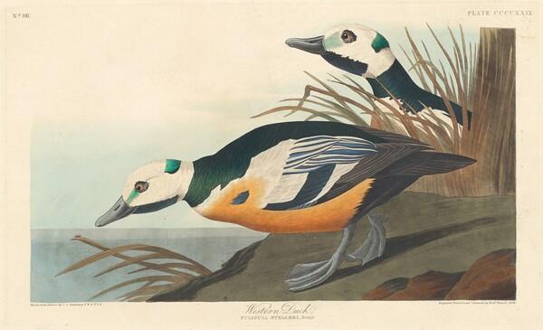 Western Duck