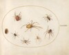 Plate 37: Seven Spiders and an Insect