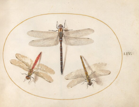 Plate 54: Hairy Dragonfly and Two Darters