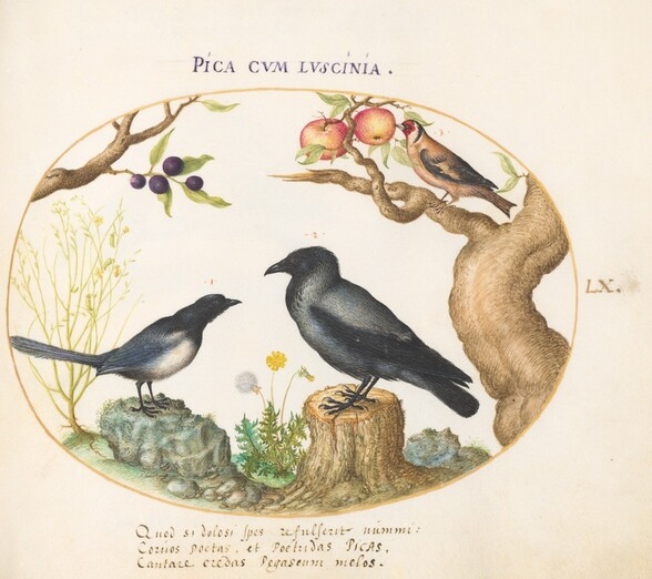 Plate 60: Magpie, Crow, and Goldfinch
