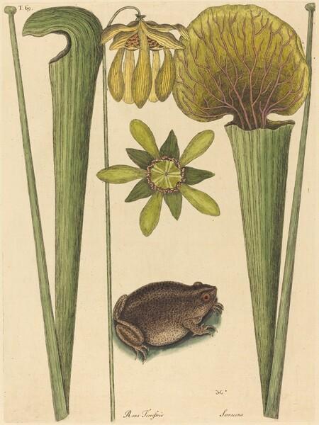 The Land Frog (Rana)