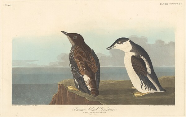 Slender-billed Guillemot