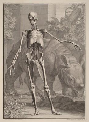 Musculorum Tabula IV