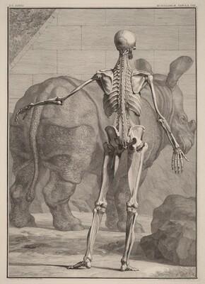 Musculorum Tabula VIII