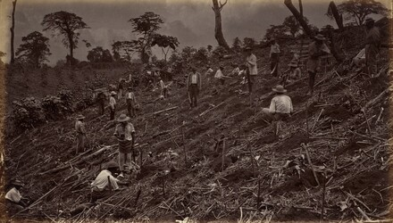 Setting out a Coffee Plantation at Antigua de Guatemala