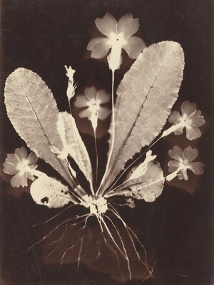 Botanical Photogram