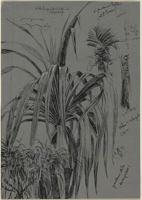 Studies of Screwpines from Madagascar