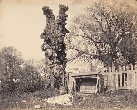 Old Tree near Chatham