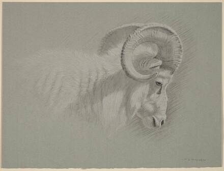 Head of a Dall Ram