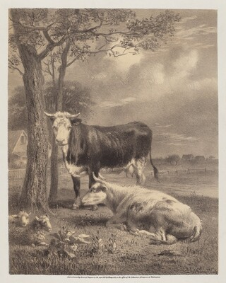 Cattle Ruminating