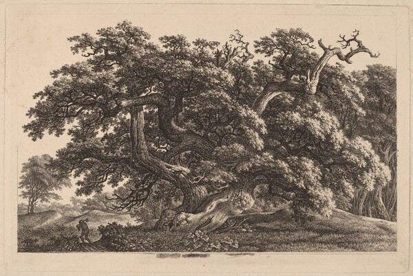 A Widely Expanding Oak Tree