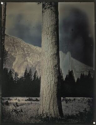 Sugar Pine Tree, Yosemite, CA, April 2, 2012