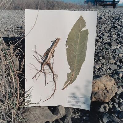 Verbascum thapsus, Common Mullein