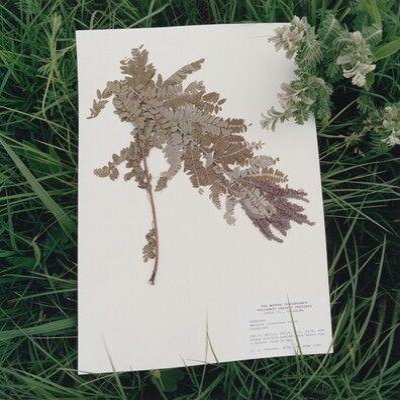 Fabaceae amorpha, Leadplant
