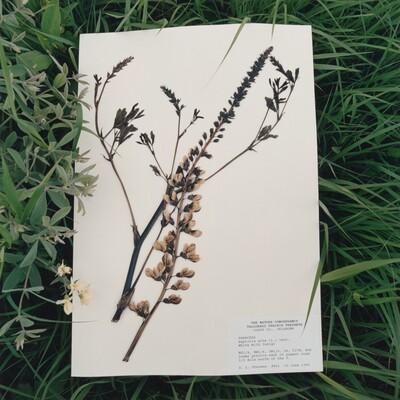 Baptisia alba, White Wild Indigo