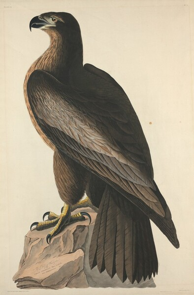 The Bird of Washington or Great American Sea Eagle