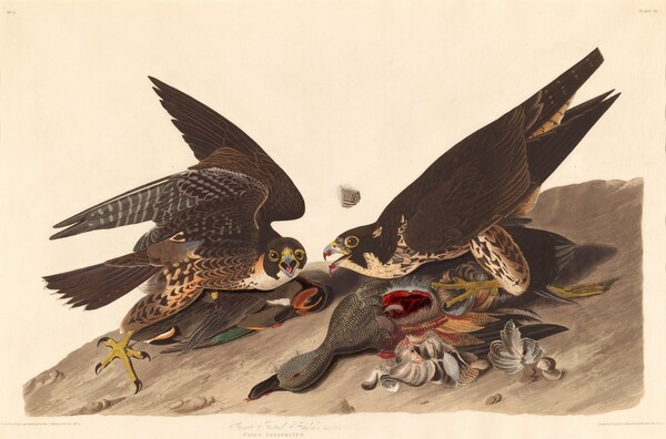 Great Footed Hawk