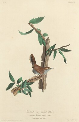 Bewick's Long-tailed Wren
