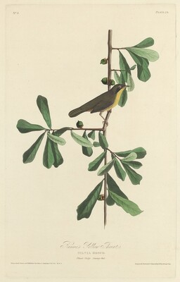 Roscoe's Yellow Throat