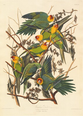 Carolina Parrot