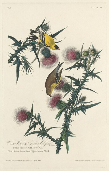 Yellow Bird or American Goldfinch