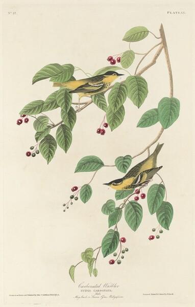 Carbonated Warbler