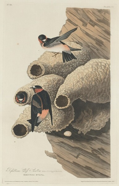 Republican Cliff Swallow