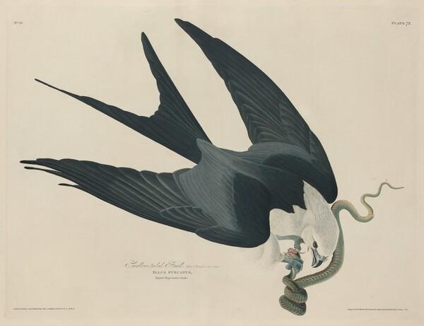 Swallow-tailed Hawk