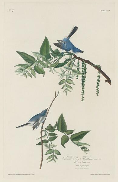 Blue-grey Flycatcher