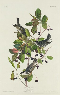 Black-Pool Warbler