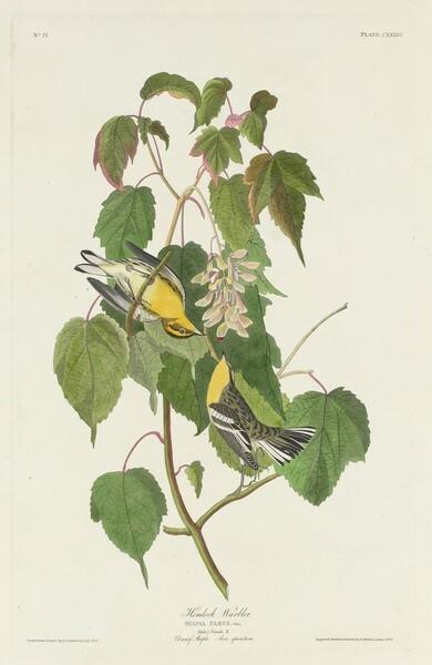 Hemlock Warbler