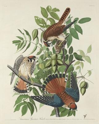 American Sparrow Hawk