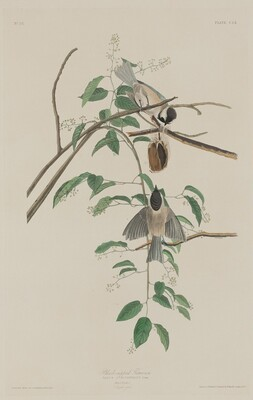 Black-capped Titmouse