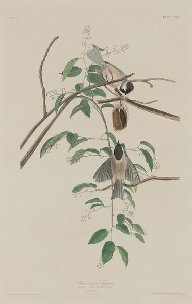 Black-capped Titmouse