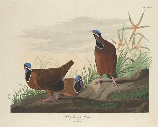 Blue-headed Pigeon
