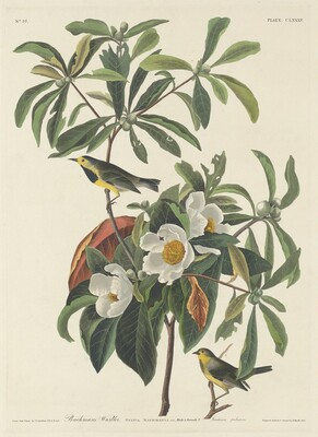 Bachman's Warbler