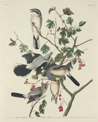 Great American Shrike or Butcher Bird
