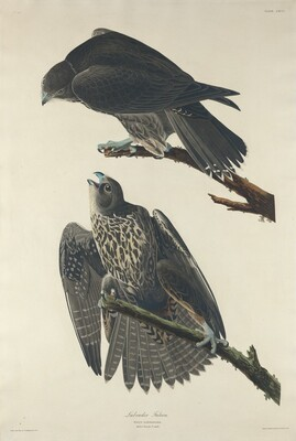 Labrador Falcon