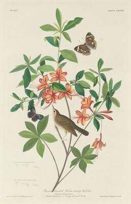 Brown-headed Worm-eating Warbler