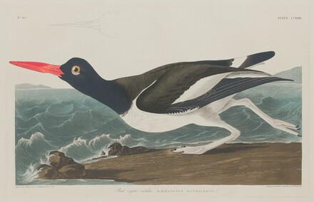 Pied Oyster-Catcher